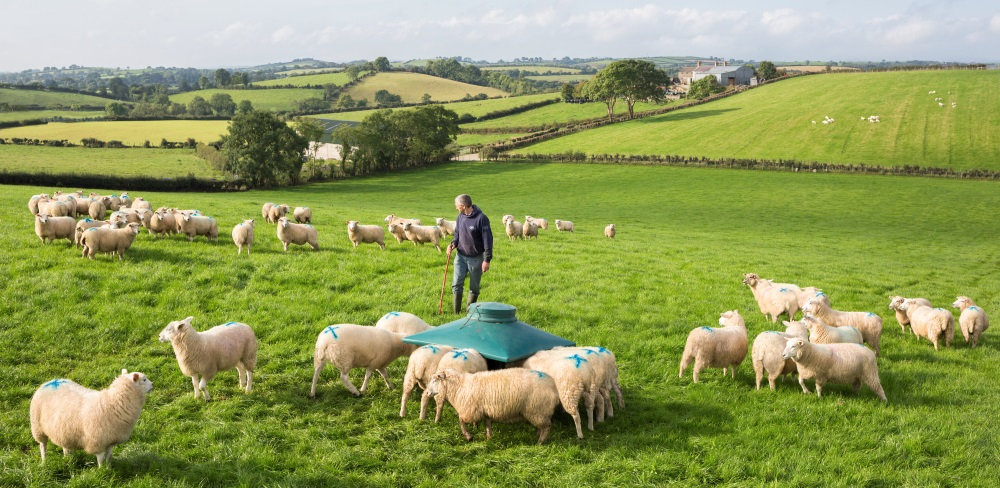 Common sheep diseases and conditions